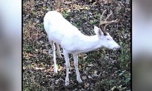 Hunter Spots 12-Point Albino Buck in Tennessee: 'Like Seeing a Ghost'