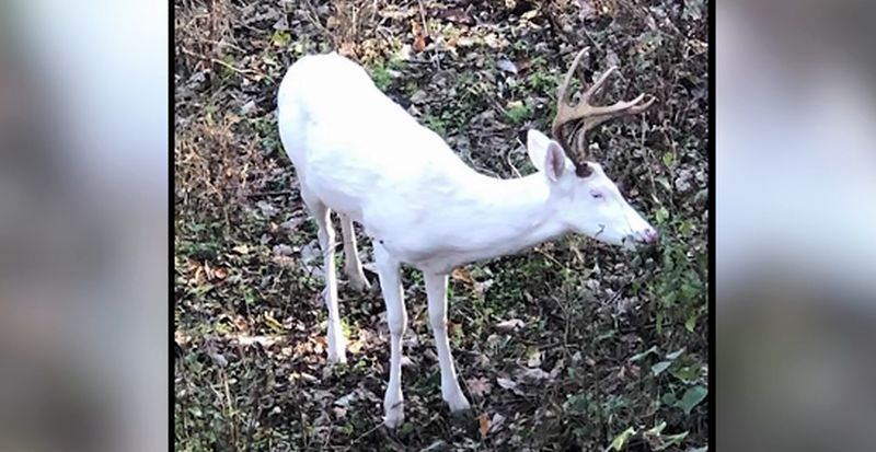 albino buck in tennessee