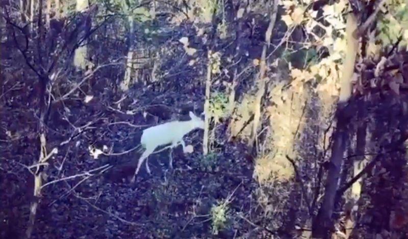 rare deer in tn via amy hall