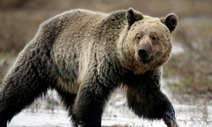 A grizzly bear roams through the Hayden Valley in Yellowstone National Park in Wyoming, on May 18, 2014. (Reuters/Jim Urquhart/File Photo)
