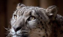 Rare Snow Leopard Shot After Escaping Zoo