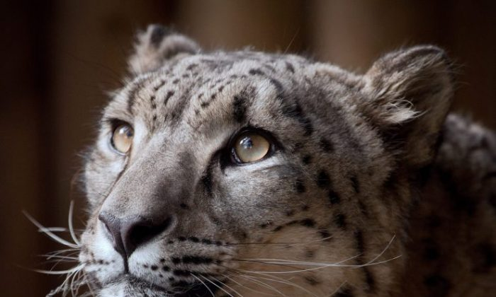 8-year-old snow leopard Margaash, who was shot after escaping his enclosure at Dudley Zoo, United Kingdom, on Oct. 23, 2018. (Dudley Zoo)