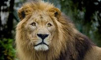 Lion Attacks Tamer During Performance in Ukraine