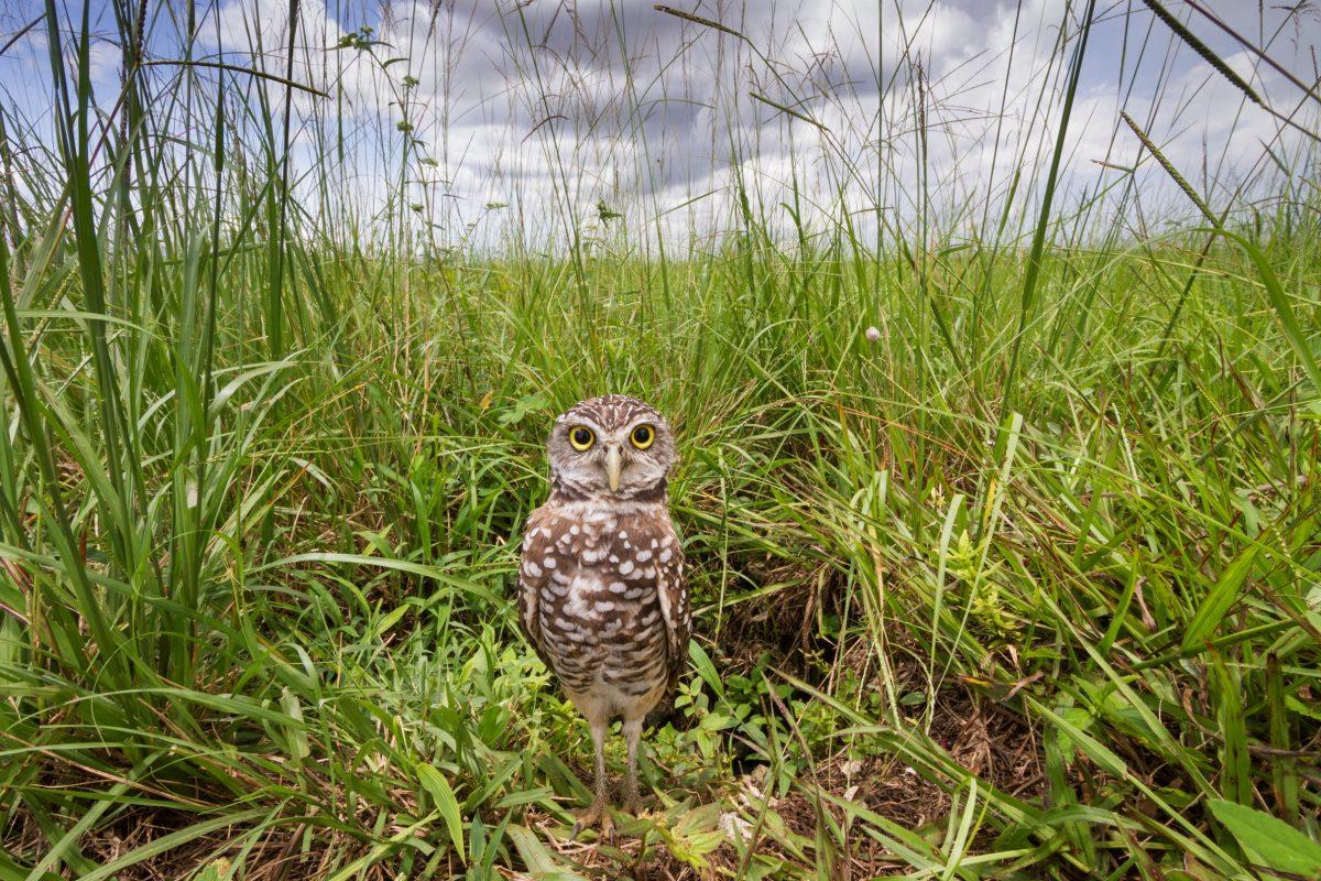 MacStone-burrowing owl