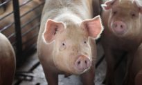 Tennessee Police Officers Take Escapee Pig Home After She Disrupts Traffic