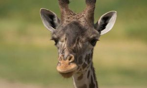 Giraffe Dies Following Rare C-section at Ohio Zoo, Officials Say