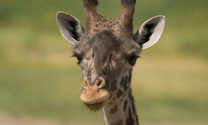 The Columbus Zoo said that a giraffe died just several days after giving birth to a calf, the zoo said on Dec. 8. (Columbus Zoo and Aquarium)