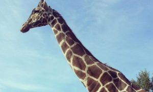 21-Year-Old Giraffe Duke Euthanized by Jacksonville Zoo: Reports