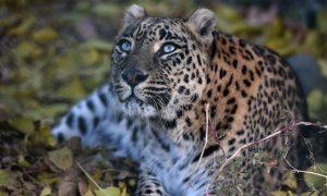 Leopard Kills Meditating Monk in India