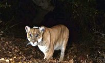 Deformed Mountain Lion Found in Idaho, Remains a Mystery