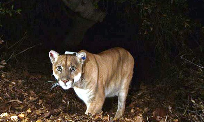 A mountain lion in California in a Nov. 2014 file photo. (National Park Service/File Photo via AP)