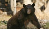 Poachers Filmed Shooting Bear, Cubs in Alaska Den