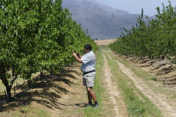 A farmer checks on nectarine trees on his firm close to Ceres, South Africa, in this file photo. (Rodger Bosch/AFP/Getty Images)