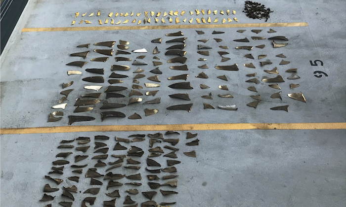 Evidence in court in Honolulu shows some of the hundreds of shark fins seized from a Japanese fishing boat, on Nov. 28, 2018. (U.S. Attorney's Office via AP)