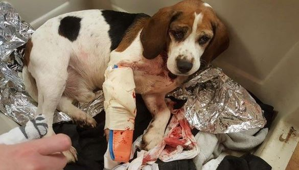 Two dogs, including Trooper, pictured, were thrown from a moving SUV in New York state on Dec. 12, 2018. They were picked up by a truck driver and are recovering at an animal shelter. (New York State Police)