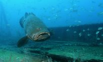 Viral: Florida Man Catches 'Monster' Golitah Grouper