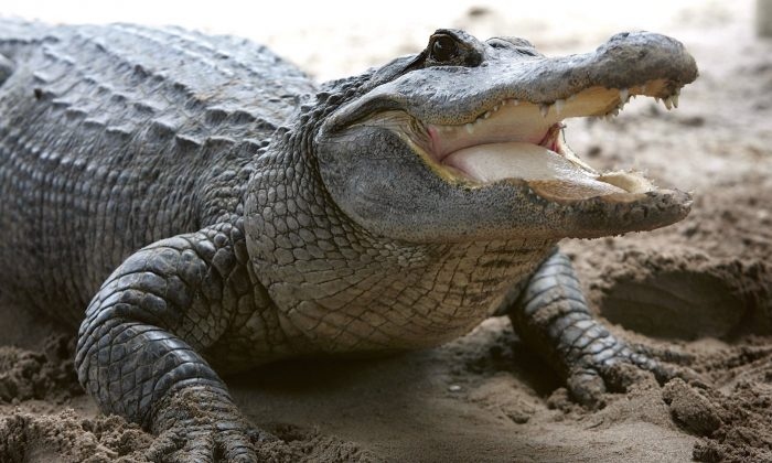 An alligator is seen at the Gator Park in the Florida Everglades on May 17, 2006. (Joe Raedle/Getty Images)