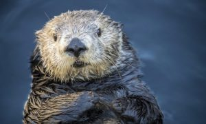 Aquarium Apologizes for Tweets About Sea Otter
