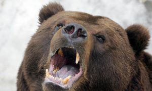 Russian Hunter Killed and Eaten to the Bone by Pet Bear He Raised as a Cub