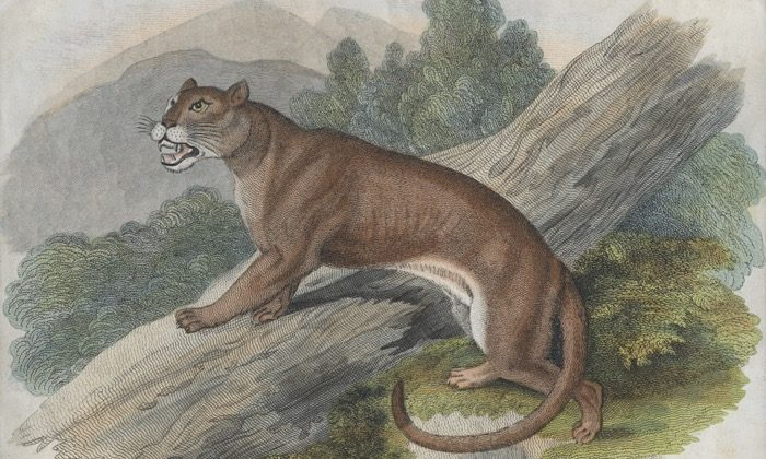 A cougar or puma of the Americas, circa 1850. (Hulton Archive/Getty Images)