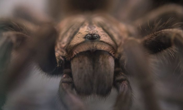 A picture taken on July 12, 2018 shows a tarantula. (Sebastian Gollnow/dpa/AFP/Getty Images)