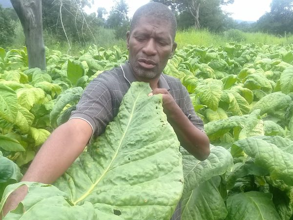 A tobacco farmer shows off his tobacco plant