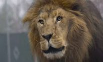 Lion That Killed Woman in North Carolina Was Shot Eight Times Before It Went Down