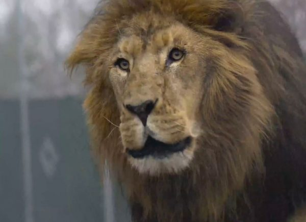 lion shot eight times