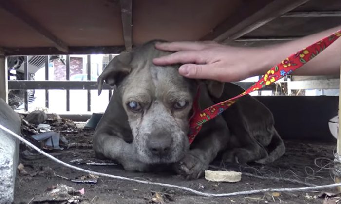 Duncan the blind Pitbull getting rescued from a junkyard by members of LA-based Hope For Paws. (YouTube Screenshot | Hope For Paws - Official Rescue Channel)