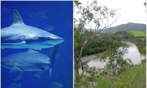 Australian Fisherman Captures 5 Sharks Just 100 Meters From Swimming Children