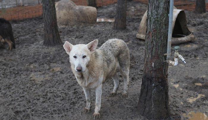 More than 165 German shepherds were discovered neglected and living in filthy conditions in Georgia, according to the Atlanta Humane Society, on Jan. 4, 2018. (Atlanta Humane Society)
