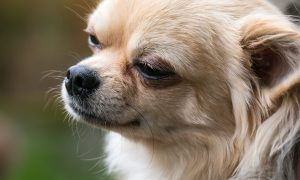 Pet Chihuahua Dies in Blazing Van After Jumping in to Save Owner