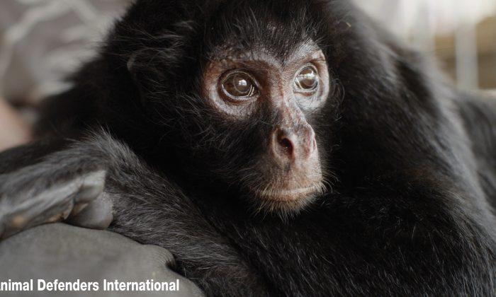 Pepe, a spider monkey, was chained to a collar for eight years and was rescued in 2015 from a circus. (Courtesy of Animal Defenders International)