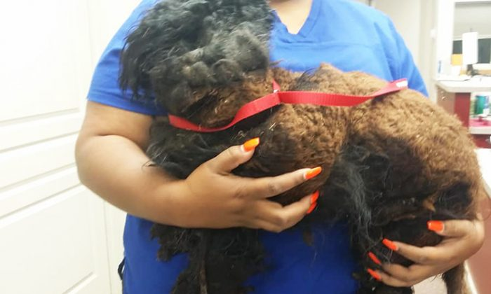 Woman finds matted dog while gazing out of the window of her car, brings him to West Texas Emergency Veterinary Clinic. (Facebook | Crystal Jean Nixon Carson )
