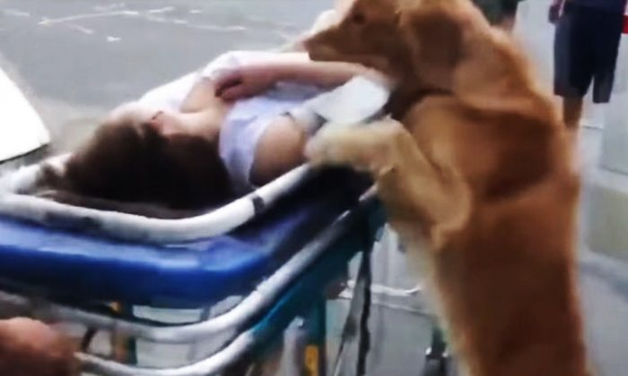 Golden retriever accompanies the paramedics as they wheel its owner after she had fallen on the ground while walking her dog. (YouTube Screenshot | Viral Paws)