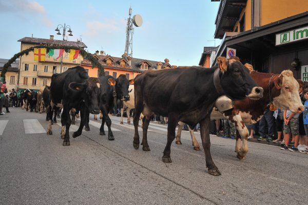 Cows walk through Asiago town center transhumance