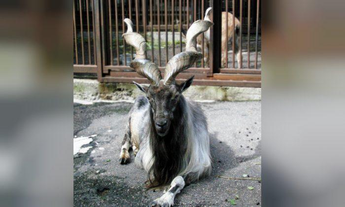 A spiral-horned Markhor goat. (Pixabay)