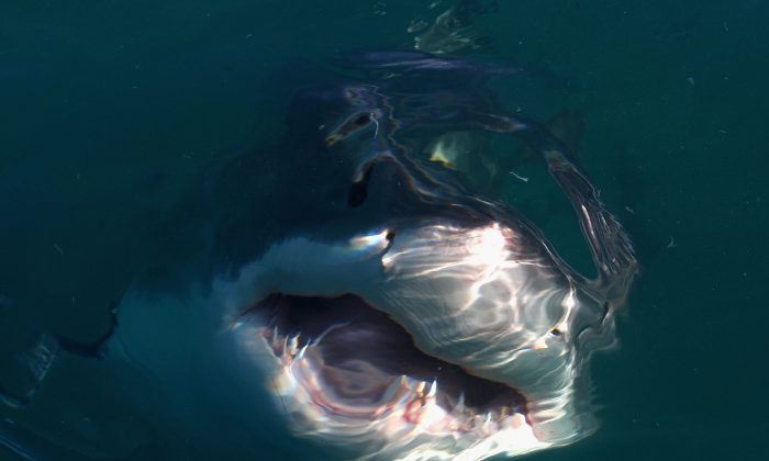 A Great White Shark swims in Shark Alley  in Gansbaai, South Africa. near Dyer Island on July 8, 2010  (Ryan Pierse/Getty Images)