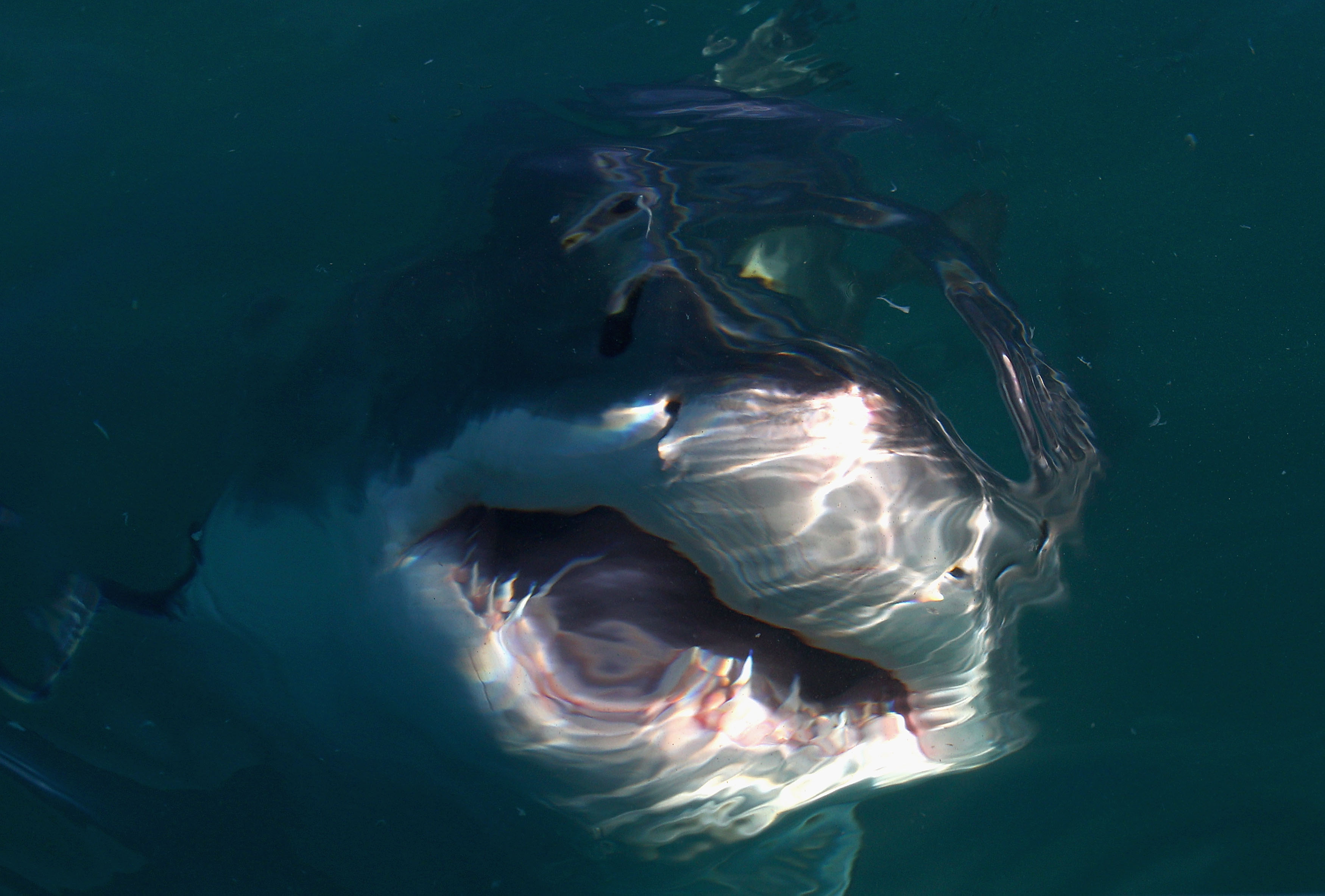 Divers Swim With Record 20-Foot-Long Great White Shark Called 'Deep Blue'