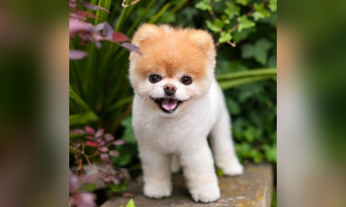 """World's Cutest Dog"" Boo, 12, the Pomeranian, died on Jan. 19, 2019. (Boo/Facebook)"