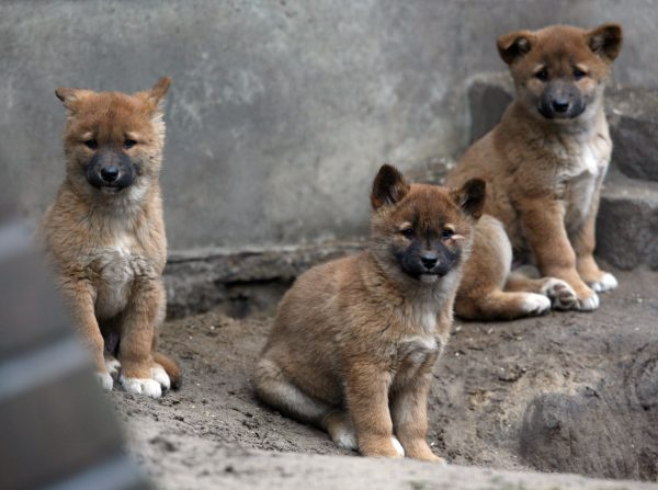 Three dingo puppies