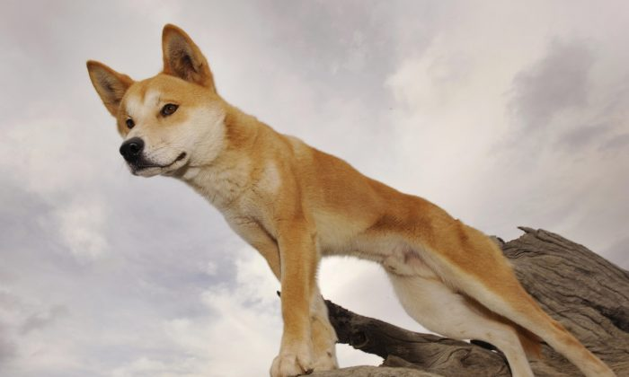A Dingo stands in an enclosure at the Dingo Discovery and Research Centre  in rural Australia on May 25, 2009. (William West/AFP/Getty Images)