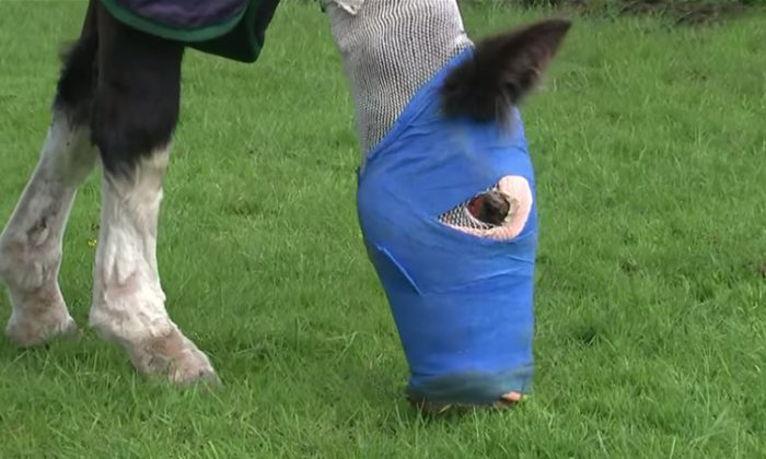 Cinders grazing after being the first horse in the United Kingdom to be treated with fish-skin therapy following a horrific acid attack. (YouTube Screenshot | ITV News)