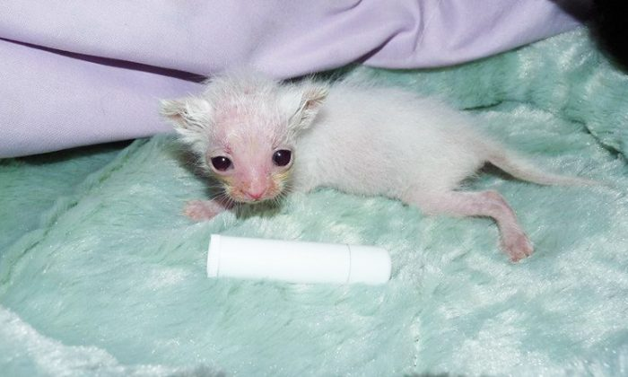 Stuart the kitten was in a terrible condition; he was shockingly dehydrated, losing hair, and had eyes so infected and swollen with green pus. But with the care from his foster mom, he transformed completely. (Facebook | Fabulous Felines NWA)