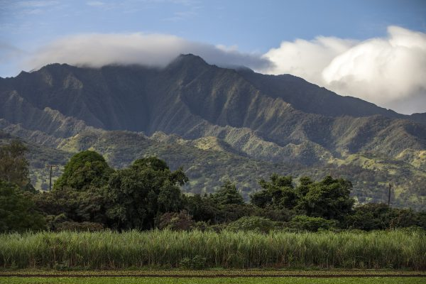 Sugarcane fields in front of mountains in Oahu Hawaii