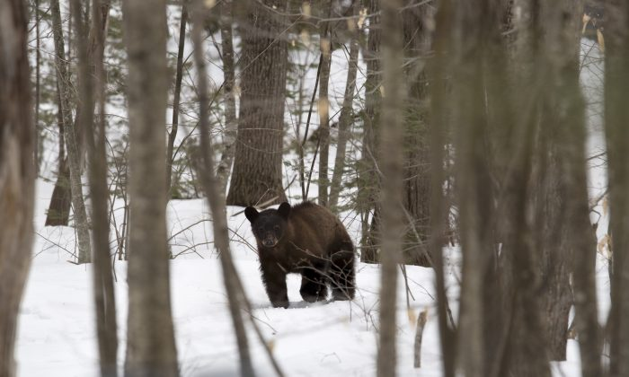File—A black bear roams a property in New Hampshire, on March 29, 2018. (Don Emmert/AFP/Getty Images)