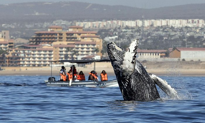 People watch as a humpback whale (Megaptera novaeangliae) jumps out of the Pacific Ocean's waters in Los Cabos, Baja California Sur, Mexico on March 14, 2018. (Fernando Castillo/AFP/Getty Images)