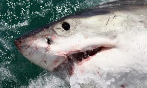 Huge Shark Found With Head Bitten Off by Even Bigger Sea Creature in Australia