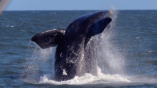 A Southern Right Whale breaches