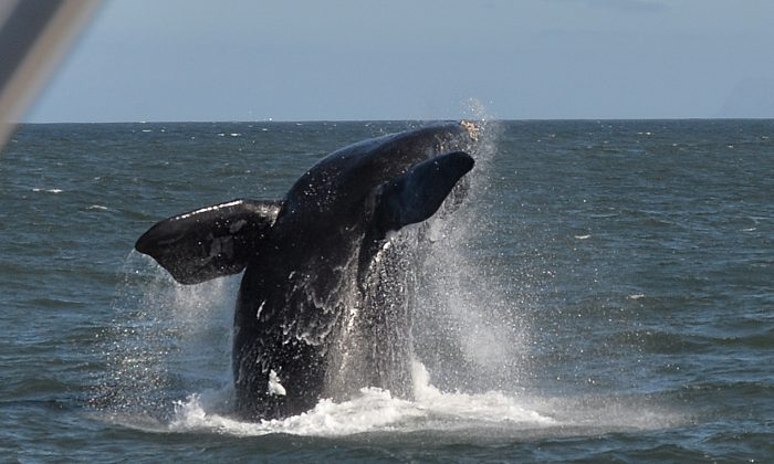 A Southern Right Whale breaches in Hermanus, on Sept. 5, 2013. (Alexander Joe/AFP/Getty Images)
